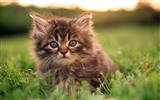 Title:14 Fluffy Cutie-Fluffy Persian Kitten with Blue Eyes Views:6840