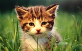 Title:Sweet Kitty-Adorable Fluffy Baby Kittens Wallpapers Views:12067