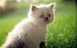 Title:2 Fluffy Cuties-Gray and white Persian Kitten Views:7510