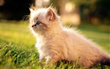 Title:3 Fluffy Persian Kitten with blue eyes Views:5533