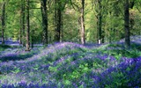 Title:4 United Kingdom-Royal Forest Dean hyacinth wallpaper Views:13390