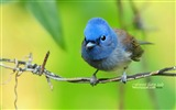 Title:Black-naped Blue Flycatcher Black-naped Blue Flycatcher wallpaper Views:11436
