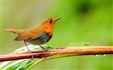 Title:Japanese songs Robin-the branches birds wallpaper Views:16785