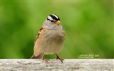 Title:White-crowned Sparrow-Birds wallpaper cute spring Views:18959