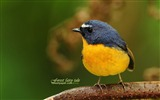 Title:Wizard Bird-Buff-breasted Flycatcher Snowy-browed Flycatcher green wallpaper A Views:4352
