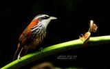 Title:branches birds-small scimitar babbler wallpaper Views:12181