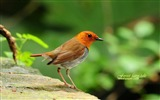 Title:cute little bird-Japanese song Robin wallpaper Views:19108