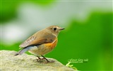 Title:fertilizer birds-blue-tailed Robin Orange-flanked Bush Robin wallpaper Views:11876