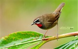 Title:forest birds-Red-throated Robin Siberian Rubythroat wallpaper wild A Views:14257