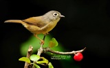 Title:lovely birds-white-eye thrush Gray-cheeked Fulvetta wallpaper Views:13165