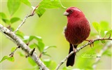 Title:lovely red bird-burgundy wallpaper Suzaku Views:22615