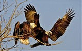 Title:Artful Eagles-Animal World Series Wallpaper Views:4305