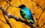 Title:Blue Bird-Animal World Series Wallpaper Views:4401