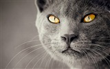 Title:Cat close-up-Animal World Series Wallpaper Views:4647