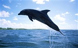 Title:Dolphin Diving-Animal World Series Wallpaper Views:6556