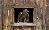 Title:Eagle home-Animal World Series Wallpaper Views:4590