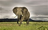 Title:Elephant on the Prairie-Animal World Series Wallpaper Views:11978