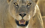 Title:Lion face close-up-Animal World Series Wallpaper Views:4503