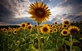 Title:Night of sunflower-September flowers wallpaper Views:5856