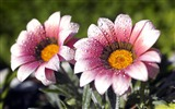 Title:One pair of purple daisy-September flowers wallpaper Views:5695