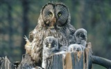 Title:Owl Family-Animal World Series Wallpaper Views:5551