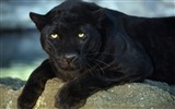 Title:Rest of the Black leopard-Animal World Series Wallpaper Views:13461