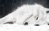 Title:Sleep in the snow and ice on the white fox-Animal World Series Wallpaper Views:52743