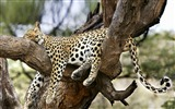Title:Sleeping leopard in a tree-Animal World Series Wallpaper Views:6333