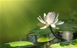 Title:Slim Lotus-September flowers wallpaper Views:9548