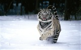 Title:Snow tiger running-Animal World Series Wallpaper Views:20345