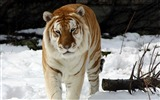 Title:Strange Snow Tiger-Animal World Series Wallpaper Views:14165