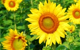 Title:Sunflower-Summer romance Feelings Views:6044