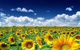 Title:Sunflowers everywhere-September flowers wallpaper Views:29026