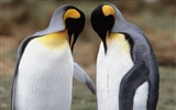 Title:Tuxedo King Penguins-Animal World Series Wallpaper Views:4370
