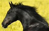 Title:Very beautiful black horse-Animal World Series Wallpaper Views:5442