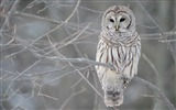 Title:White Owl-Animal World Series Wallpaper Views:6706