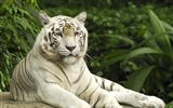 Title:White Tiger Singapore--Animal World Series Wallpaper Views:23716