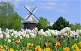 Title:Windmill - Carnation-September flowers wallpaper Views:6325