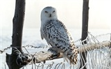 Title:Winter white owl-Animal World Series Wallpaper Views:12795