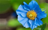 Title:amazing blue flower wallpaper-September flowers wallpaper Views:7082