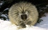 Title:angry hedgehog-Animal World Series Wallpaper Views:4515
