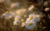 Title:daisies under rain-September flowers wallpaper Views:4638
