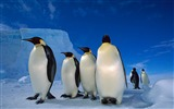 Title:fantastic emperor penguins-Animal World Series Wallpaper Views:6922