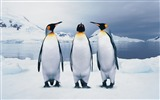 Title:funny penguins-Animal World Series Wallpaper Views:14608