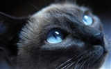 Title:Black Cat with Blue Eyes 01-Cute little kitty cat living wallpaper Views:83643