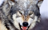 Title:Mad Wolf-Animal Desktop Wallpaper selected Views:16216