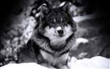 Title:Mysterious Wolf-Animal Desktop Wallpaper selected Views:22694