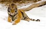Title:Snowy Afternoon Tiger-Animal Desktop Wallpaper selected Views:6383