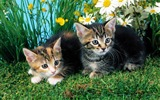 Title:Two cats-Cute little kitty cat living wallpaper Views:12722