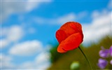 Title:a lone red poppy-Colorful-Flowers Wallpaper Photo Views:6876